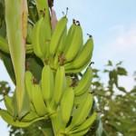 Growing Banana Trees in Virginia