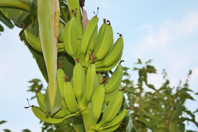 Growing Banana Trees in Virginia