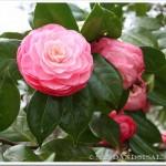 Masterpiece Pink Camellia
