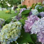 Endless-summer-hydrangea