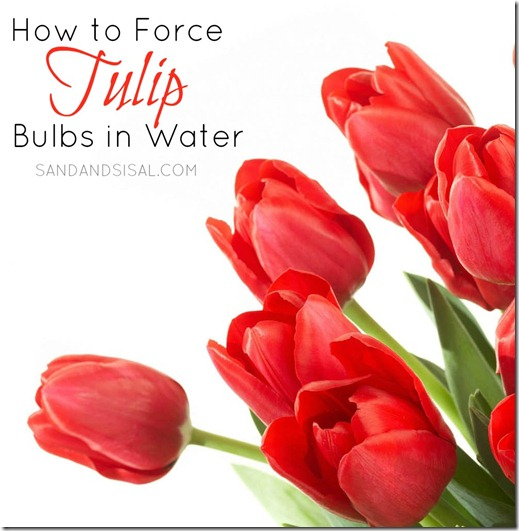 How to Force Tulip Bulbs in Water