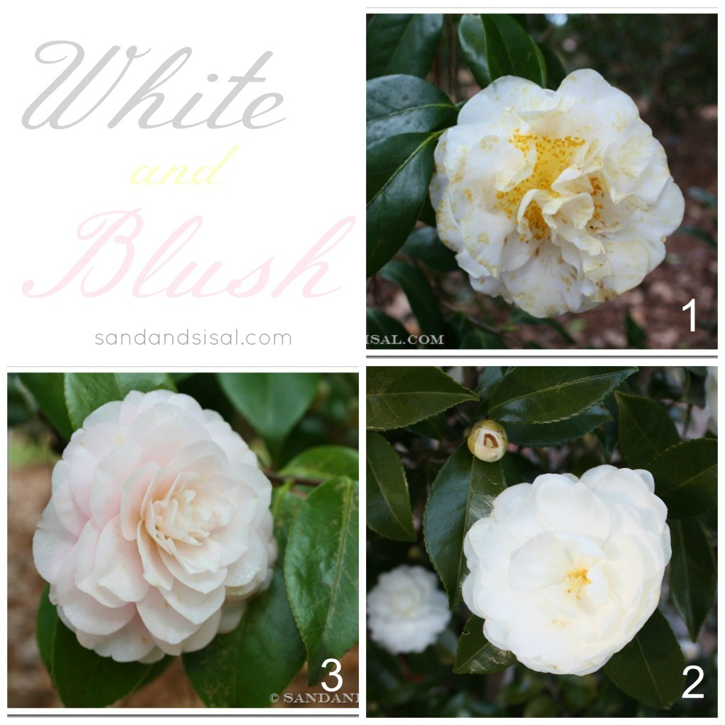 Best White Camellias