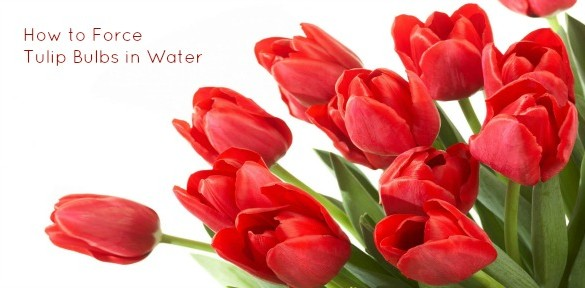 Red tulips slide show