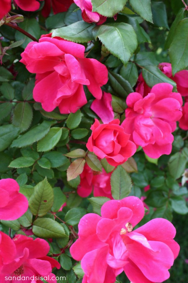 Brown Thumb Gardener's Guide to Easy Roses