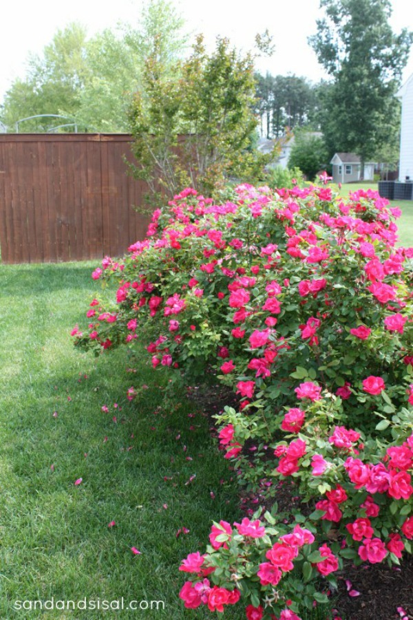 Knock out rose hedge