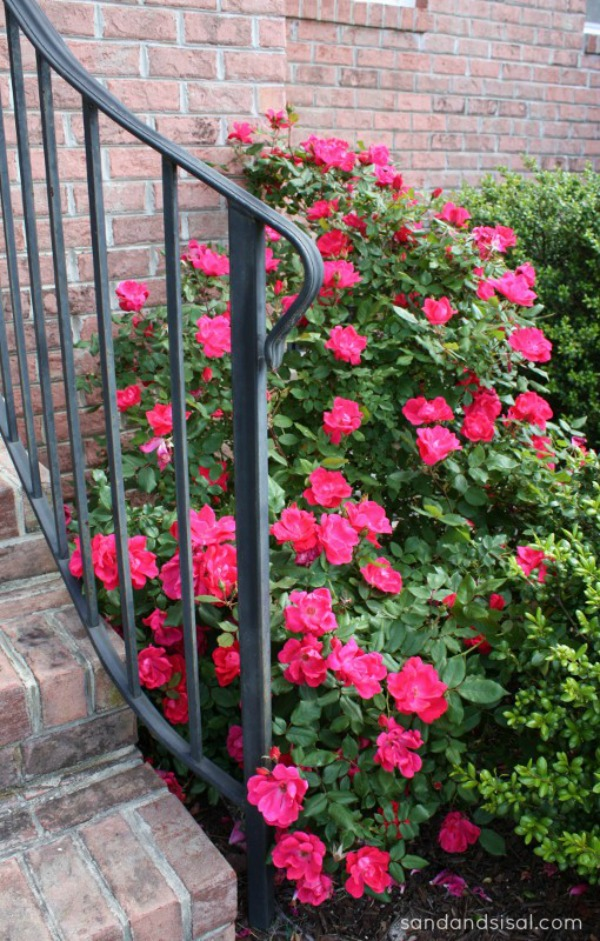 Knock out roses and wrought iron