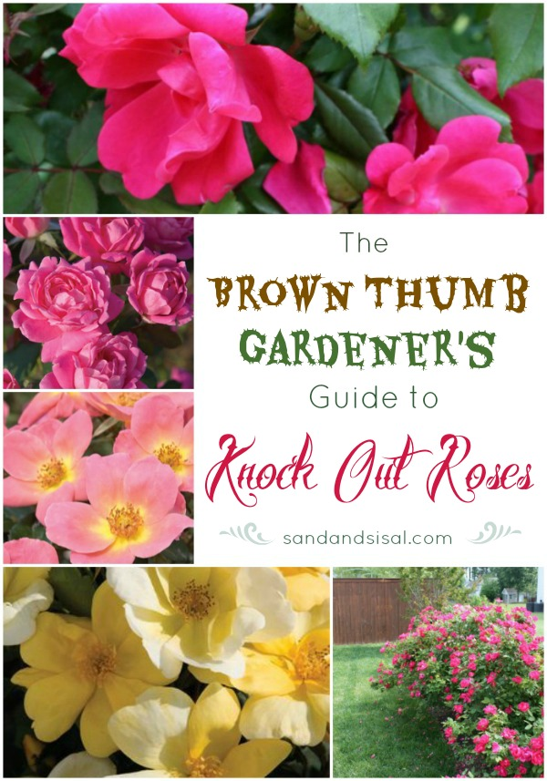 The Brown Thumb Gardener's Guide to Knock Out Roses