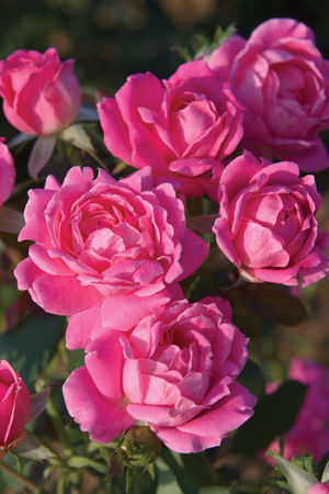The Pink Double Knock Out Rose
