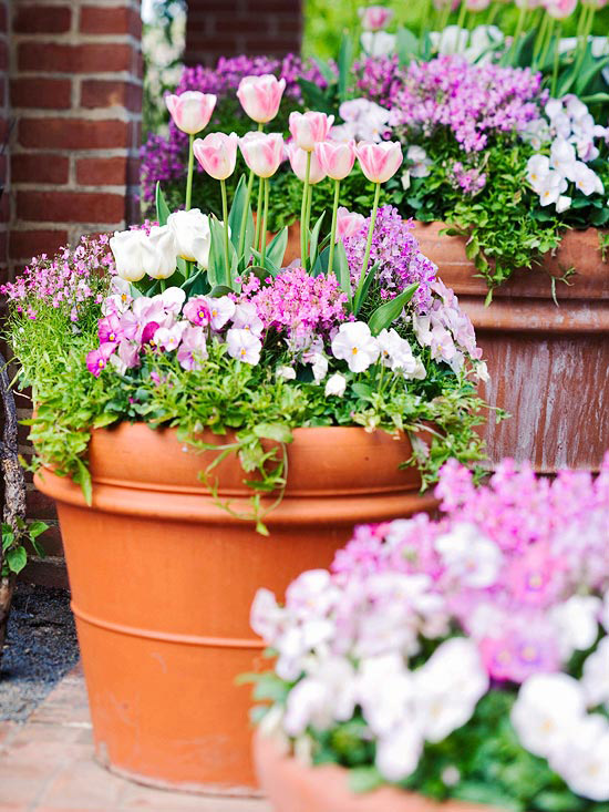 Pink tulips in pots