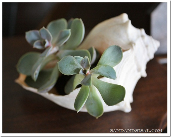 Succulent in shell