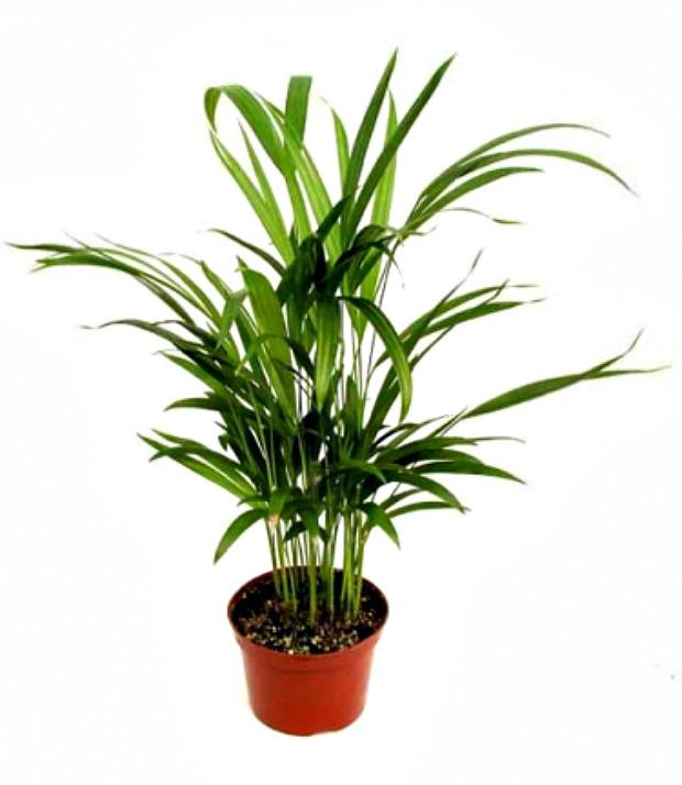Acrea Palm - House Plants that Clean the Air