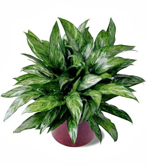 Chinese Evergreen - house plants that clean the air