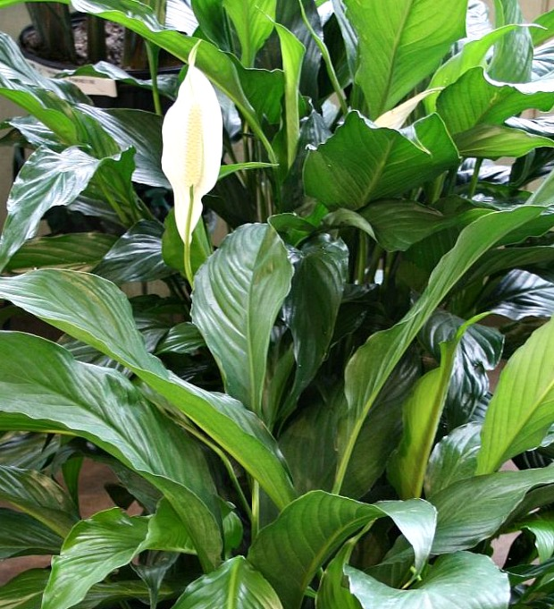 Peace Lily - Plants that Clean the Air