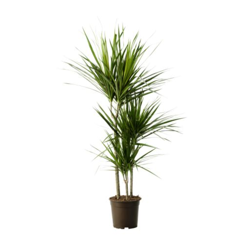 dracaena-marginata-potted-plant__67436_PE181279_S4