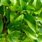 golden pothos- Plants that clean the air
