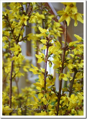 How to Force Forsythia branche