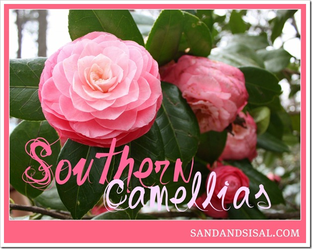Southern Camellias