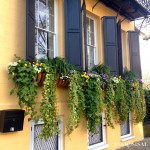 Charleston - Flowering Window Boxes