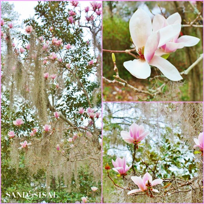 Saucer Magnolia - aka Tulip Tree