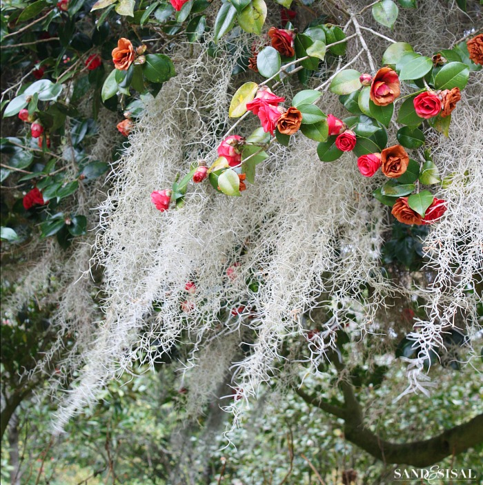 Southern Camellias draped in Spanish Moss - Middleton Plantation Charleston