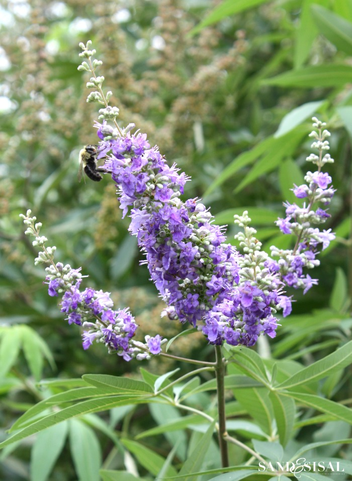 Flowers that Attract Butterflies - Chasteberry Bush