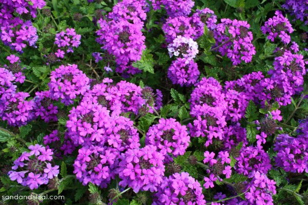 Homestead Verbena