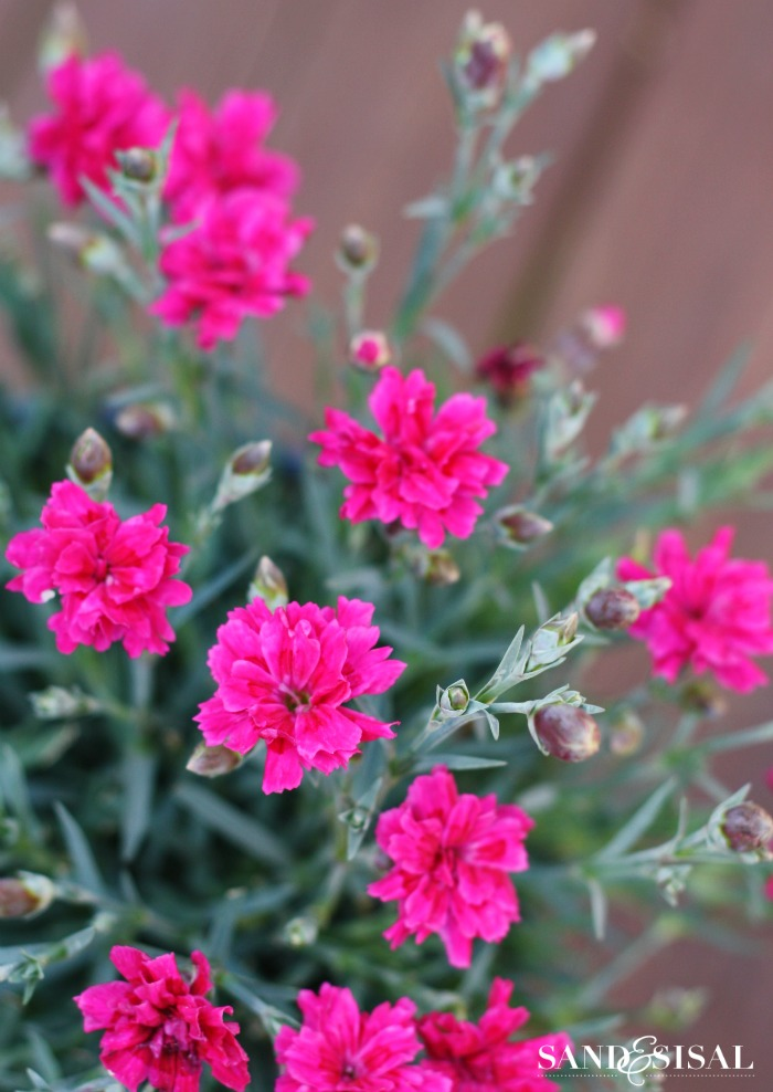 Plants that Attract Butterflies - Dianthus