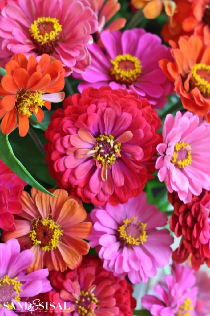 Plants that attract butterflies -zinnias