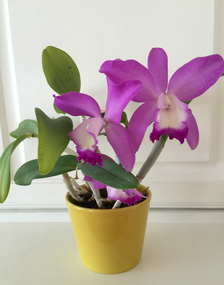 Purple Orchid - Orchids are actually EASY to grow and are so rewarding with blooms that can last for months! Once you read these easy tips, How to Grow Orchids - a beginner's guide, you will be hooked on orchids forever!