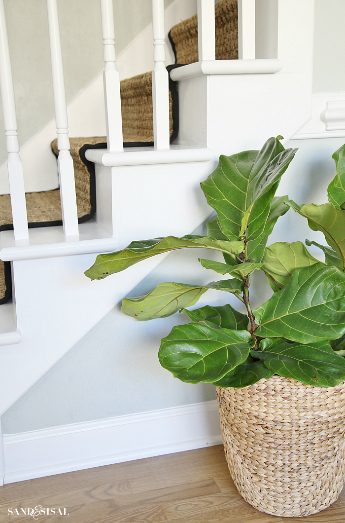 Fiddle Leaf Fig Tree in Seagrass Basket