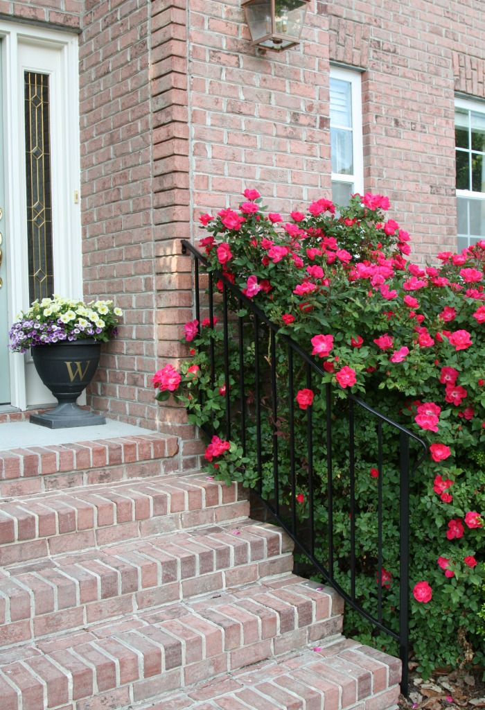 Knock Out Rose Bushes