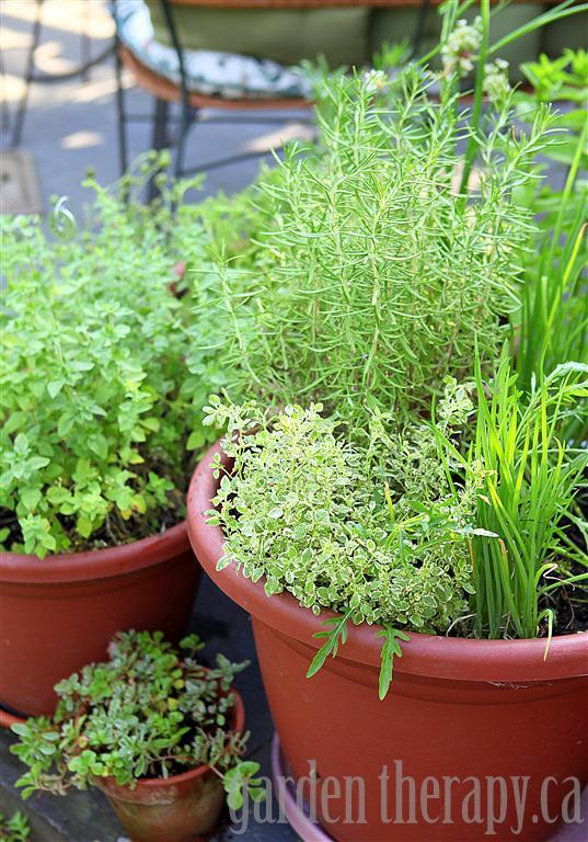 How-to-grow-herbs-in-containers-via-www.GardenTherapy.ca_