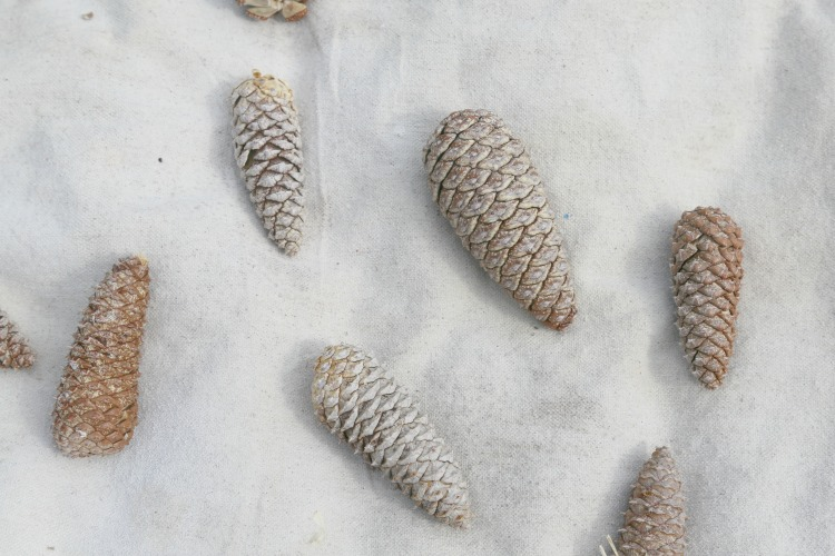 Making Bleached Pinecones - The drying process