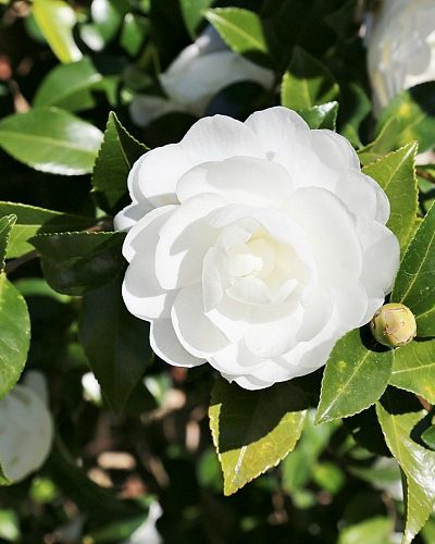 Fabulous Fall Blooming Camellias