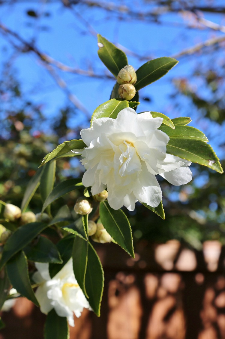 fall-blooming-camellias-snow-flurry