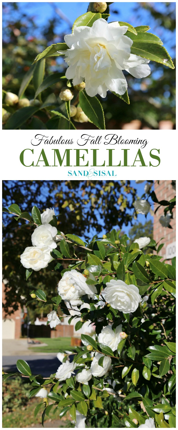 fall-blooming-camellias-white-camellia