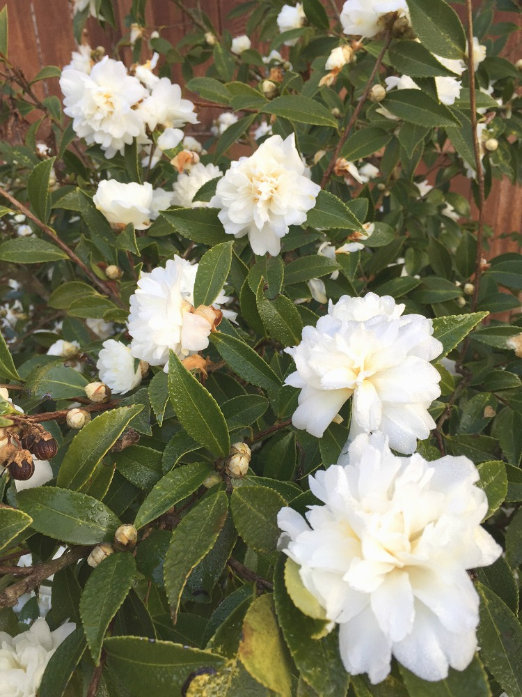 snow-flurry-fall-blooming-sasanqua-camellia
