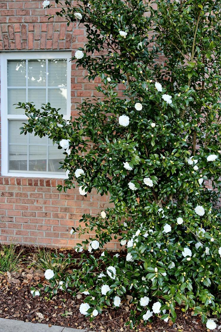white-camellia-bush