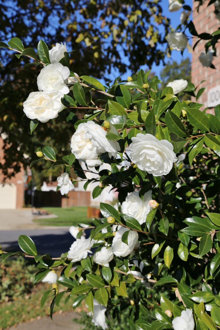 white-camellias-autumn-moon-fall-blooming