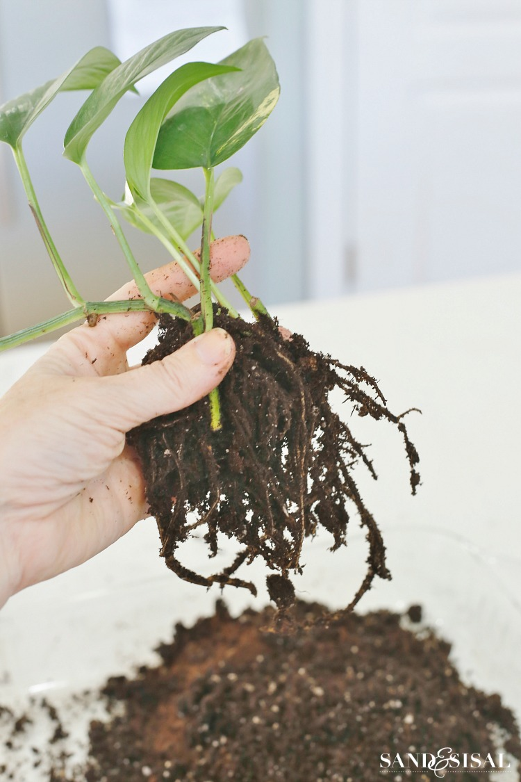 removing-soil-from-plants