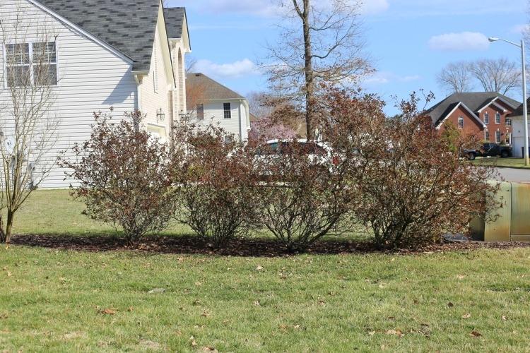 over-grown-rose-bushes
