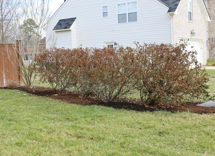 How and when to prune knock out roses.