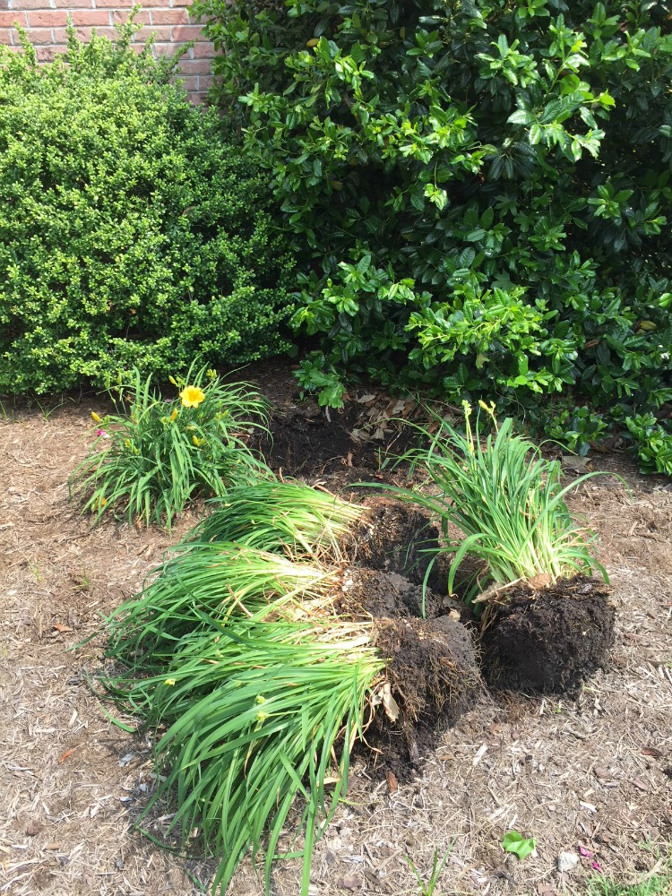 Dividing Daylilies - Step 3