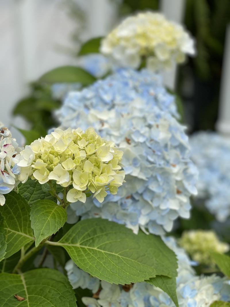 Hydrangea Garden Tour