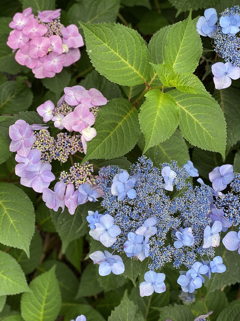 Twist and Shout Lacecap Hydrangea
