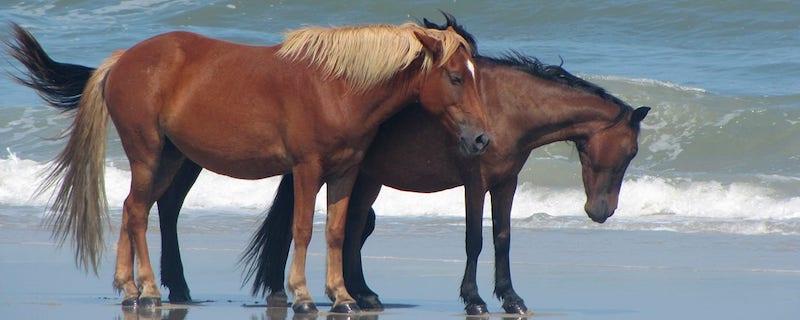 Corolla Wild Horses on Beach