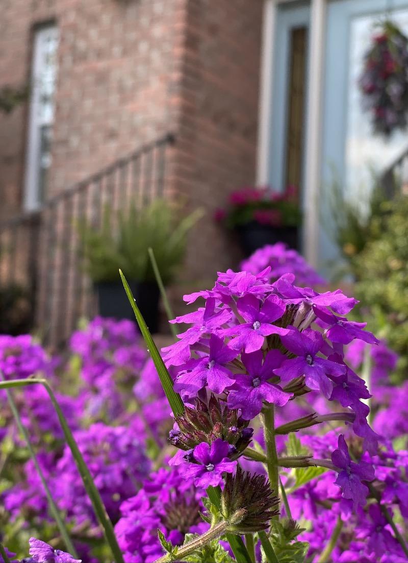 Purple Homestead Verbena